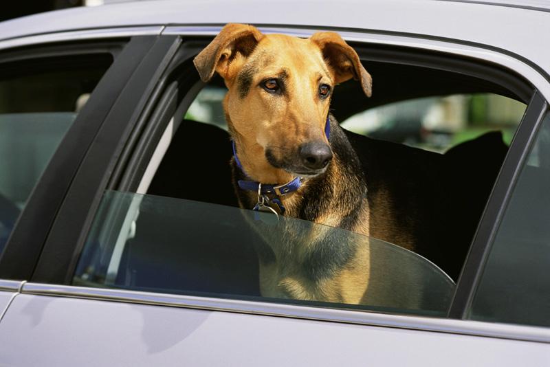 perro-en-coche
